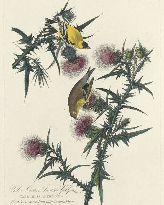 Audubon Poster featuring the drawing American Goldfinch by Dreyer Wildlife Print Collections