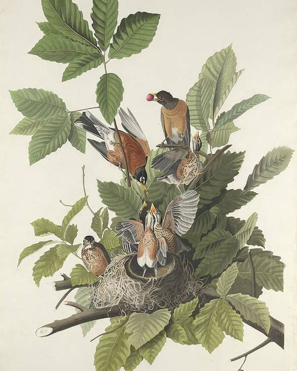 Audubon Poster featuring the drawing American Robin by Dreyer Wildlife Print Collections