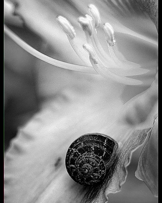 Clay Poster featuring the photograph B And White Floral With Snail by Clayton Bruster