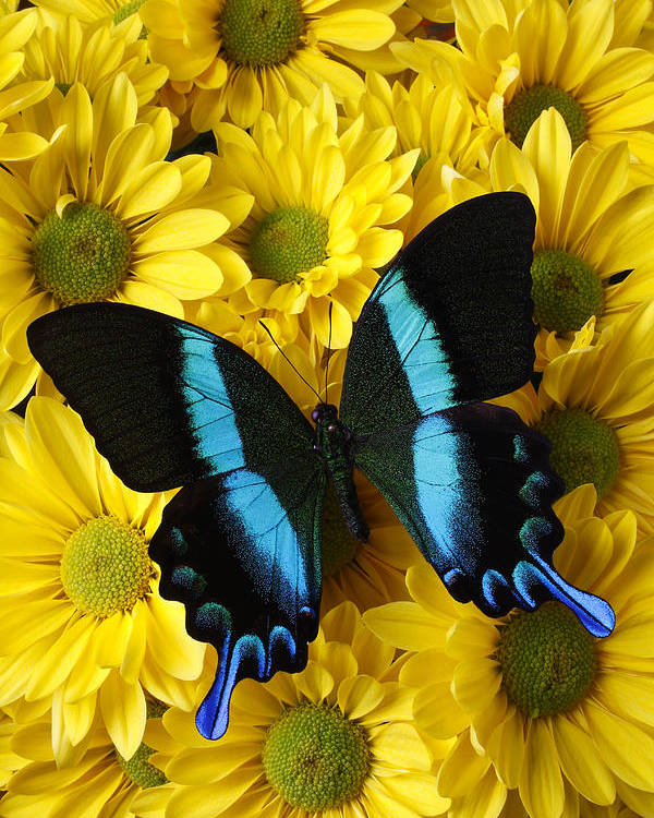 Butterfly Daisy Wings Flower Flowers Petal Petals Floral Poster featuring the photograph Black And Blue Butterfly by Garry Gay