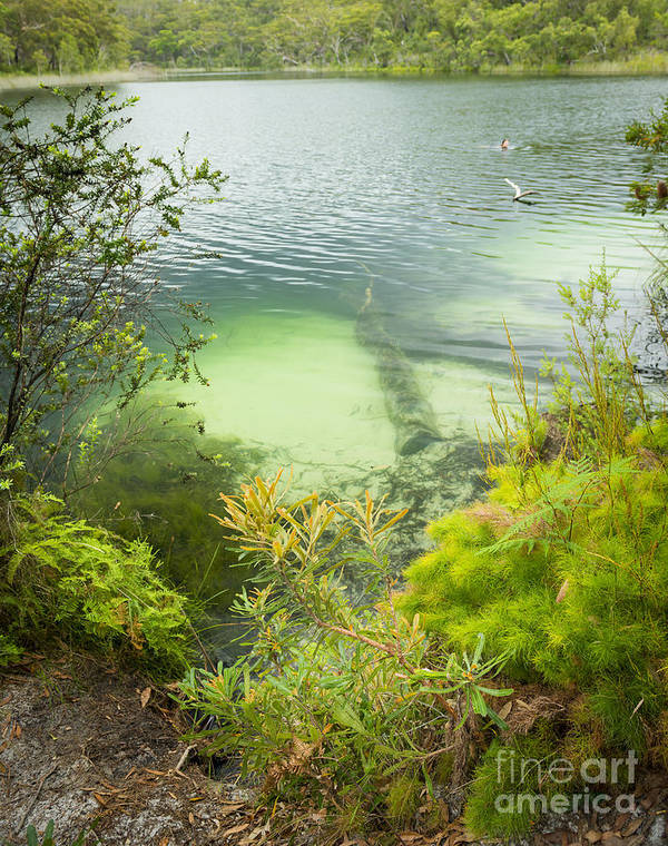 Blue Lake Poster featuring the photograph Blue Lake Stradbroke Island by Tim Hester