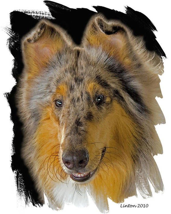 Blue Sable Standard Collie Poster featuring the digital art Blue Sable Standard Collie by Larry Linton