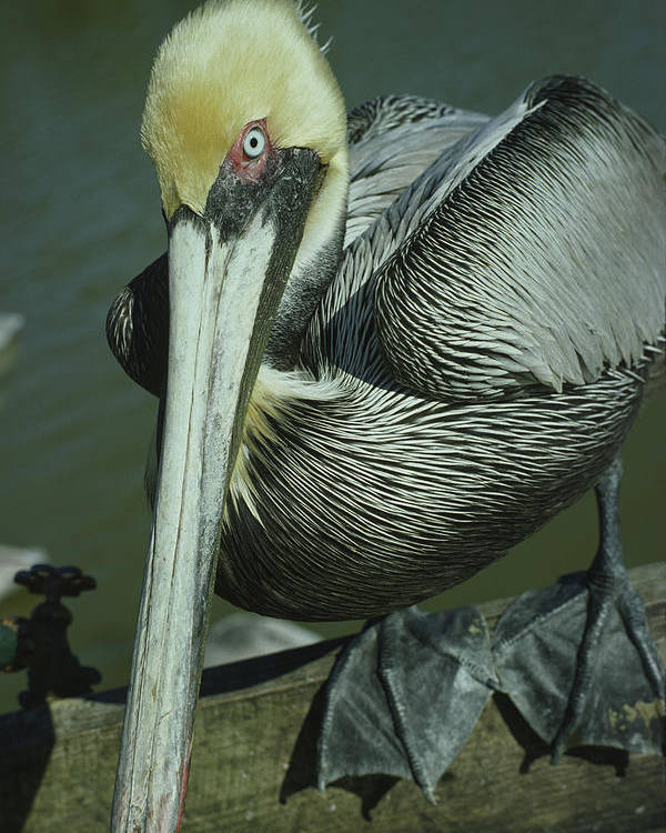 Close-up Poster featuring the photograph Brown Pelican At The Dock Of The Bay by Mark Wallner
