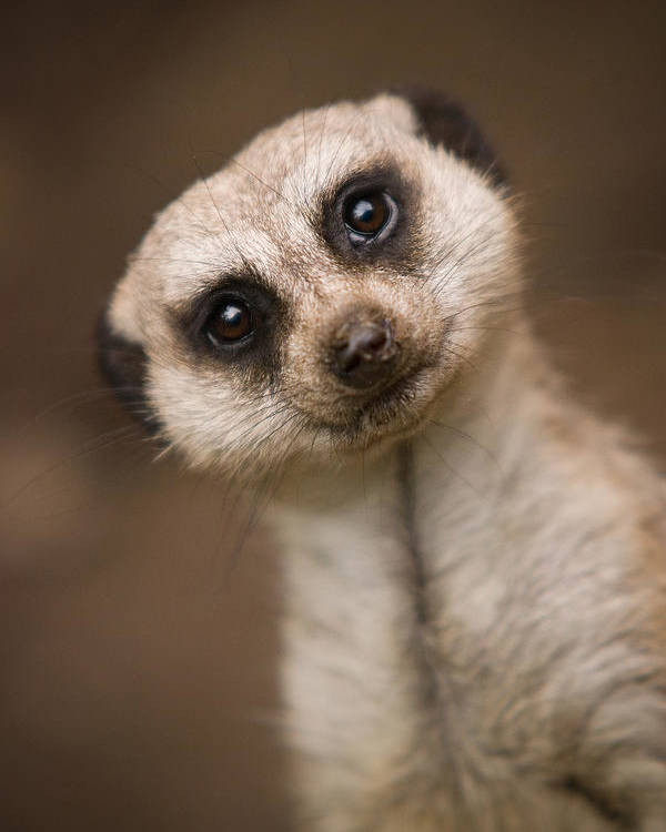 Meerkat Poster featuring the photograph Can I Help You by Ryan Heffron