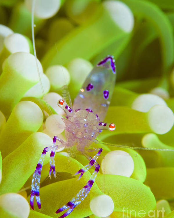 Pontoniinae Poster featuring the photograph Commensal Shrimp On Green Anemone by Steve Jones