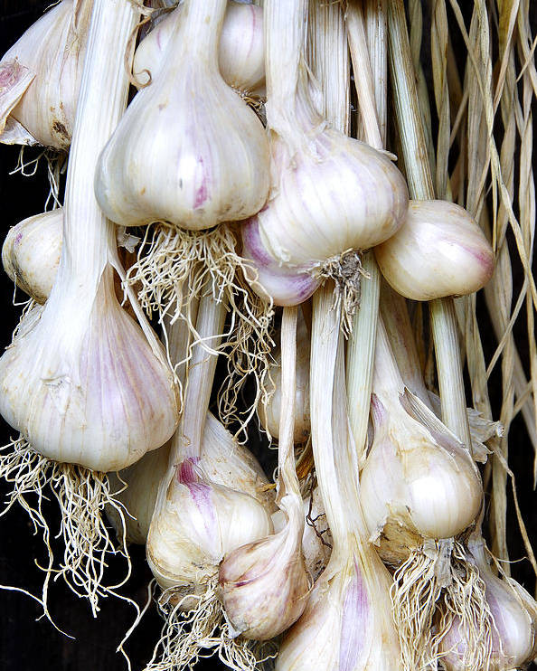 Organic Poster featuring the photograph Drying Garlic by Thomas R Fletcher