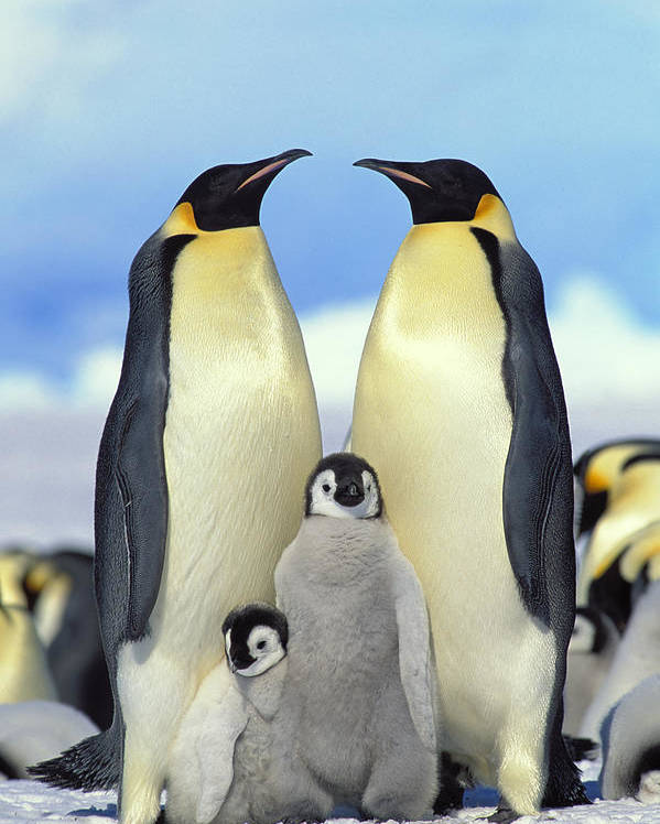 Mp Poster featuring the photograph Emperor Penguin Aptenodytes Forsteri by Konrad Wothe