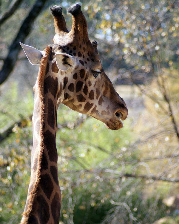Photography Poster featuring the photograph Fall Giraffe I by Angie Dixon