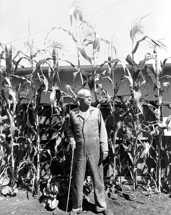 Corn Poster featuring the photograph Giant Corn Man by Gerhardt Isringhaus