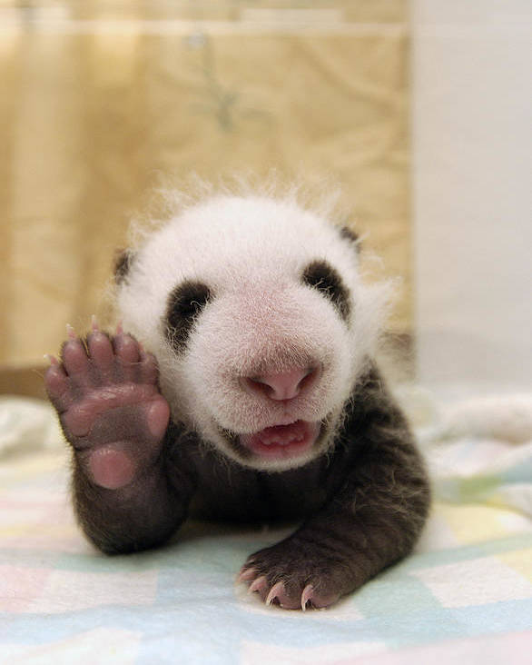 Mp Poster featuring the photograph Giant Panda Ailuropoda Melanoleuca Cub by Katherine Feng
