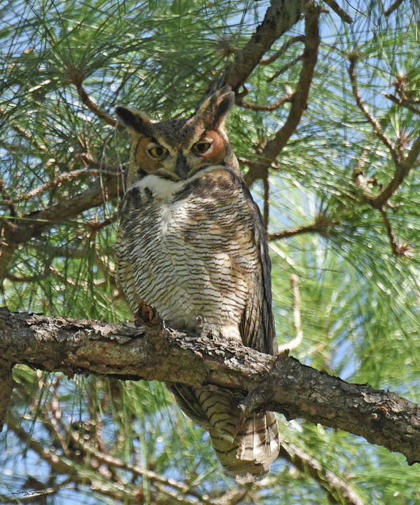 Great Horned Owl Poster featuring the photograph I See You by Sally Sperry