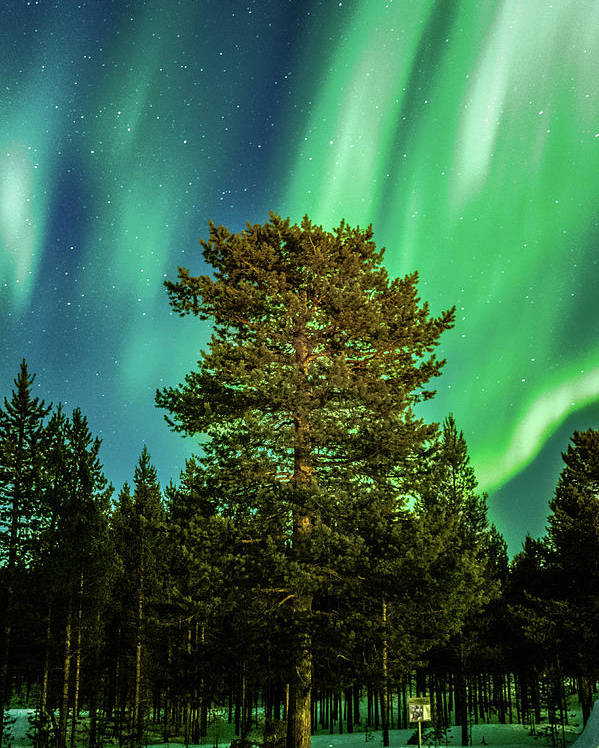 Landscape Poster featuring the photograph Majestic Tree Under The Northern Lights Karasjok Norway by Adam Rainoff