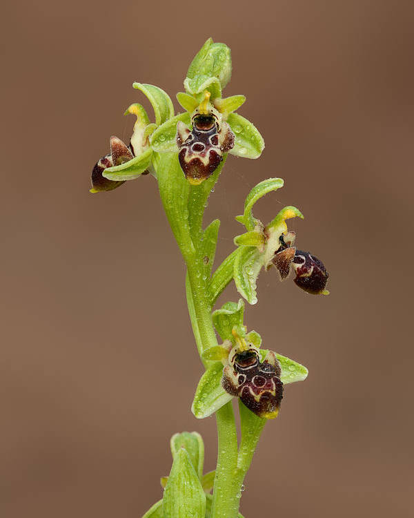 Ophrys Carmeli Poster featuring the photograph Ophrys Carmeli by Yuri Peress