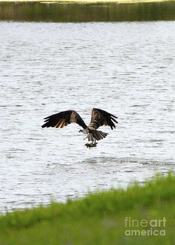 Bird With Fish Poster featuring the photograph Osprey Fishing In The Afternoon by Carol Groenen