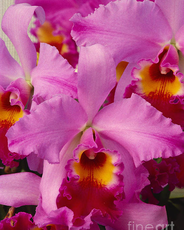 Afternoon Poster featuring the photograph Pink Cattleya Orchids by Allan Seiden - Printscapes