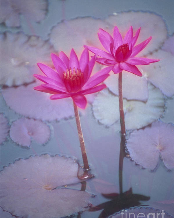 Anther Poster featuring the photograph Pink Lily Blossom by Ron Dahlquist - Printscapes
