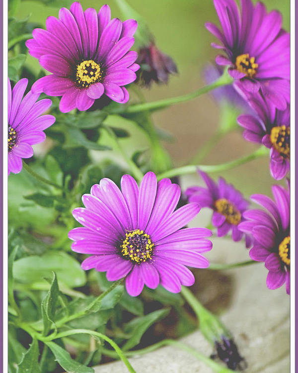 Aster Poster featuring the photograph Purple Aster Flowers by A Gurmankin