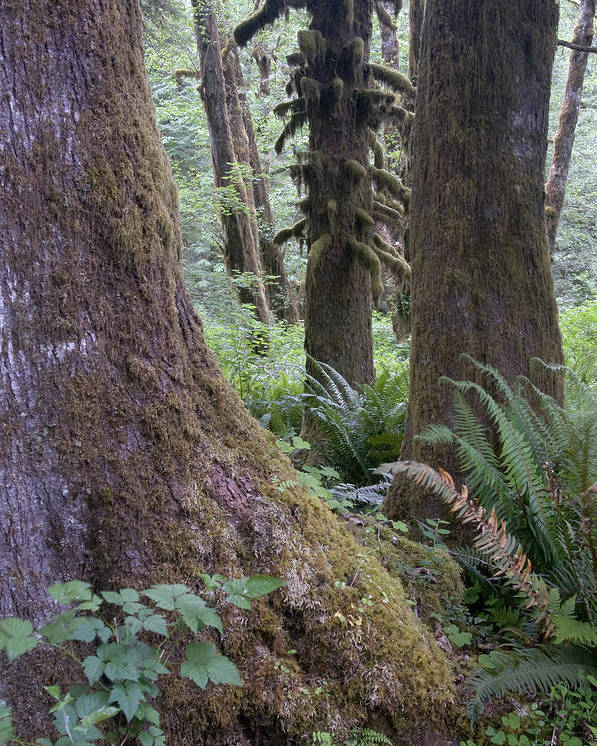 Hoh Poster featuring the photograph Quinault Rain Forest 3152 by Bob Neiman