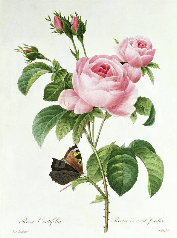Butterfly Poster featuring the painting Rosa Centifolia by Pierre Joseph Redoute