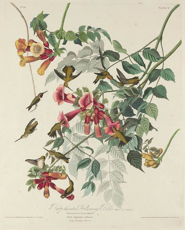 Audubon Poster featuring the drawing Ruby-throated Hummingbird by Dreyer Wildlife Print Collections