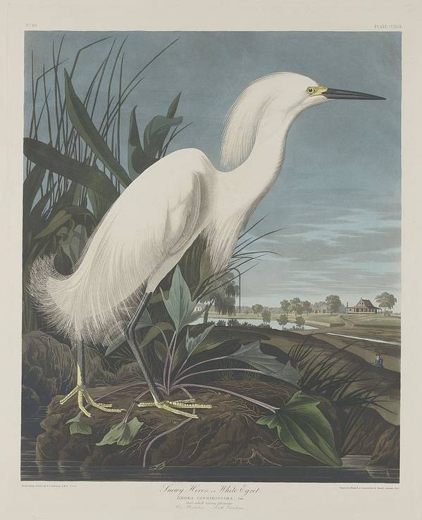 Audubon Poster featuring the drawing Snowy Heron Or White Egret by Dreyer Wildlife Print Collections
