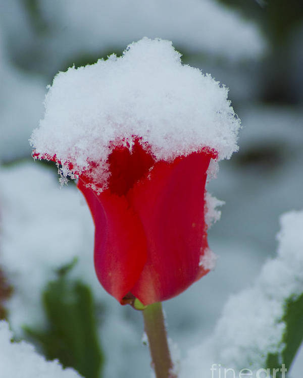 Tulip Poster featuring the photograph Snowy Red Riding Hood by Louise Magno