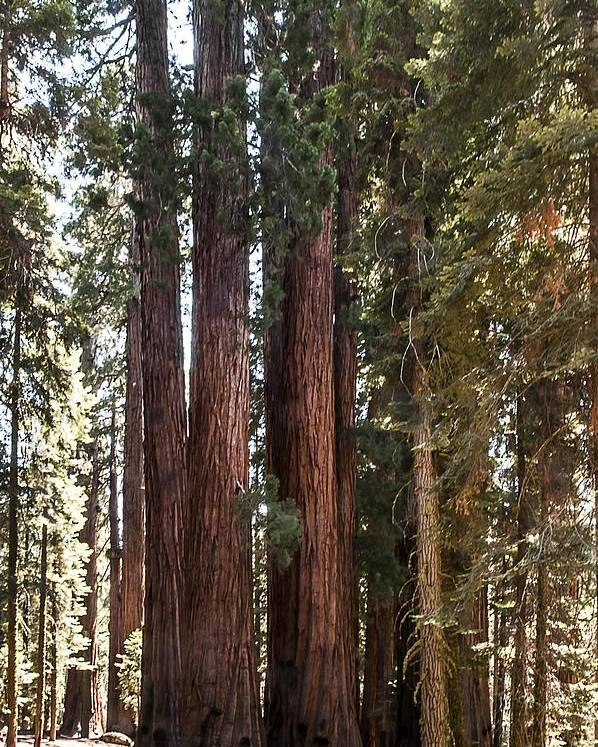 House Group Poster featuring the photograph The House Group Giant Sequoia Trees Sequoia National Park by NaturesPix