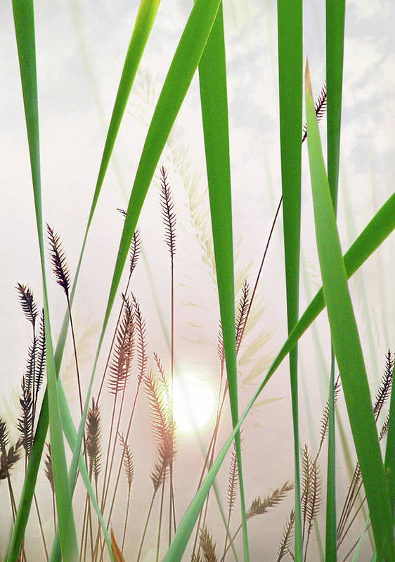 Tall Grass Poster featuring the photograph Through The Looking Grass by John Poon