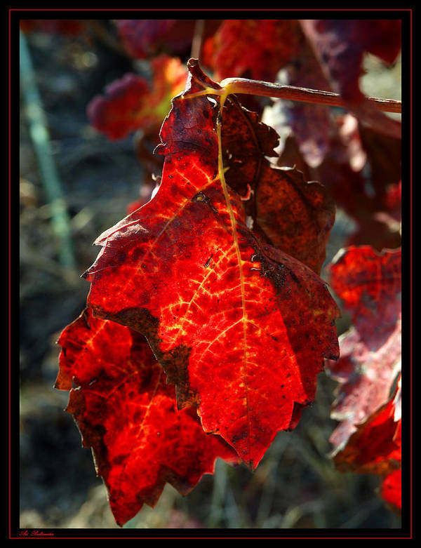 Vine Poster featuring the photograph Vine Leaf At Fall by Arik Baltinester