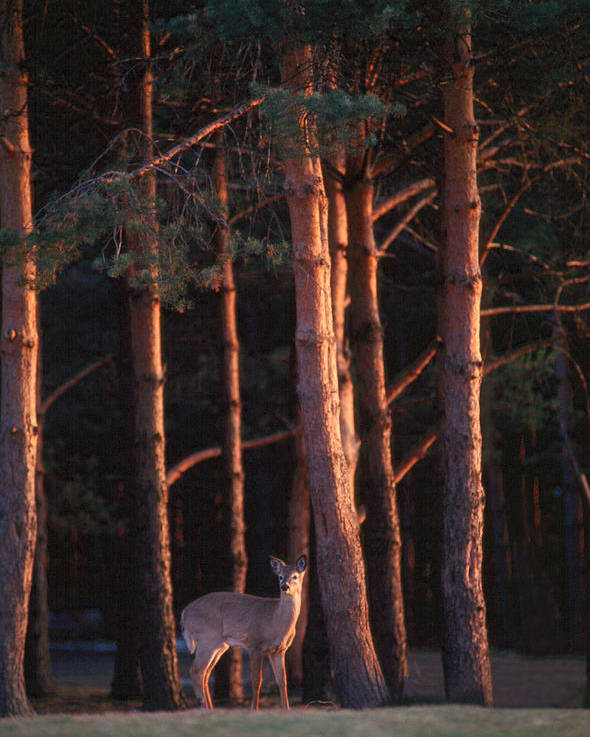 Deer Poster featuring the photograph White-tail Deer by Raju Alagawadi