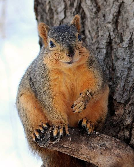 Squirrel Poster featuring the photograph Squirrel by Lori Tordsen