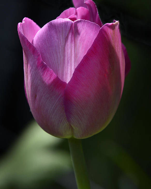 Spring Flowers 2015 Poster featuring the photograph Tulip by Ti Oakva