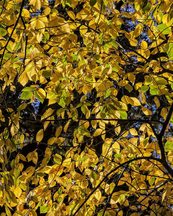 Fall Foliage Poster featuring the photograph Fall Foliage by Robert Ullmann