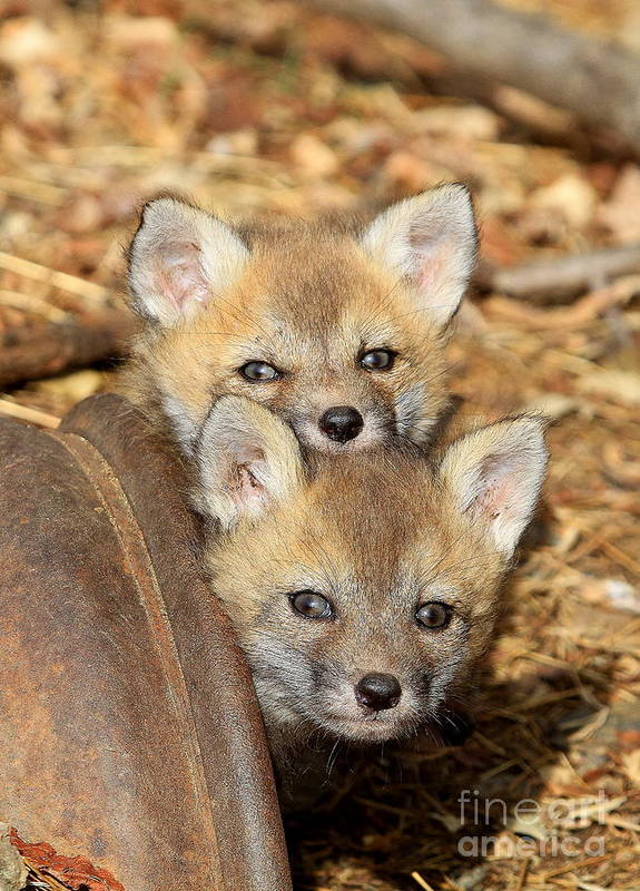 Foxes Poster featuring the photograph Baby Fox Kits by Ken Keener