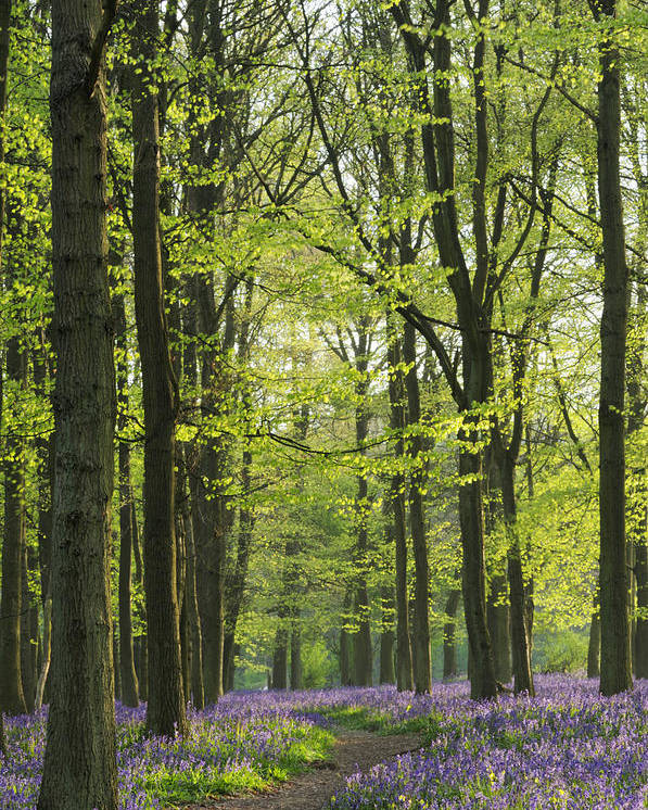 Bluebell Poster featuring the photograph Bluebell Wood by Liz Pinchen