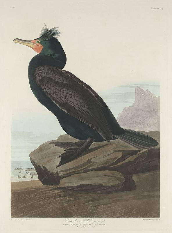 Audubon Poster featuring the drawing Double-crested Cormorant by Dreyer Wildlife Print Collections