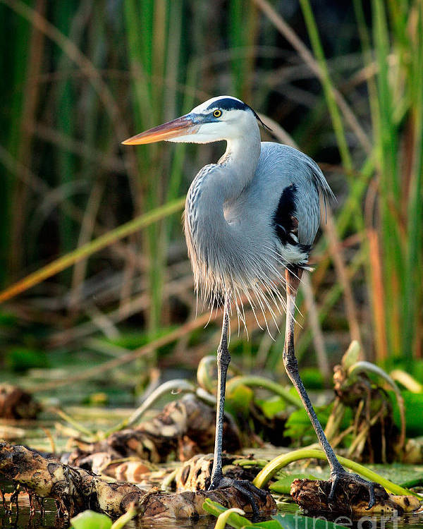 Great Blue Heron Poster featuring the photograph Great Blue Heron by Matt Suess