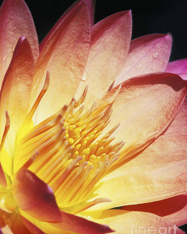 Abstract Poster featuring the photograph Pink Water Lily by Bill Brennan - Printscapes