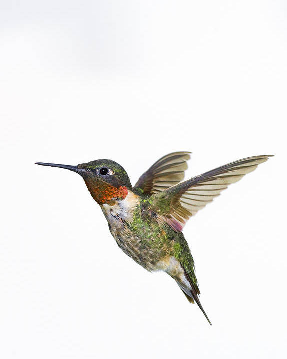 Animal Poster featuring the photograph Ruby-throated Hummingbird Archilochus by Thomas Kitchin & Victoria Hurst