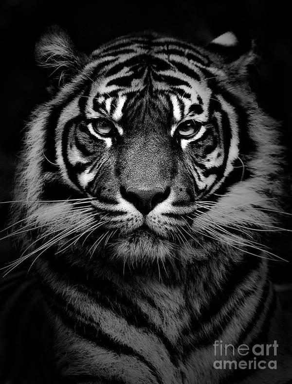 Sumatran Tiger Poster featuring the photograph Sumatran tiger by Sheila Smart Fine Art Photography