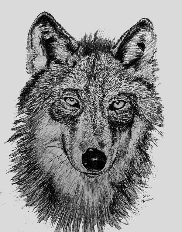 Timber Wolf Poster featuring the drawing Timber Wolf by Stan Hamilton