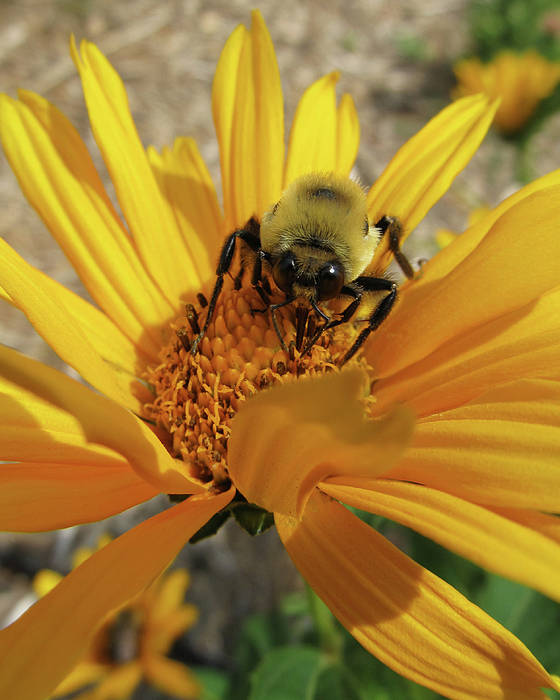 Flowers Poster featuring the photograph Bee by Michele Caporaso