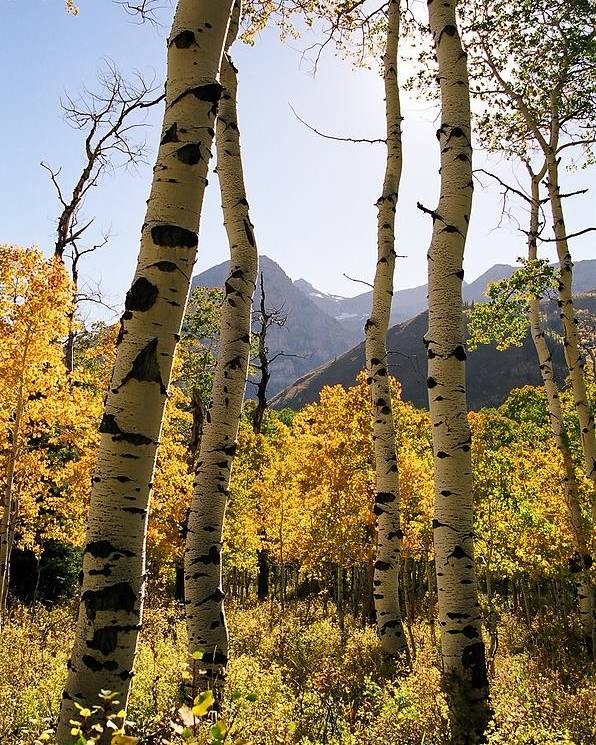 Trees Poster featuring the photograph 4 Aspens by Caroline Clark