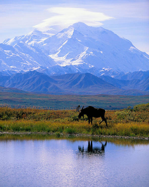 Animal Art Poster featuring the photograph Denali National Park by John Hyde - Printscapes