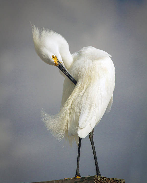 Bird Poster featuring the photograph Snowy Egret Marco Island Florida by Toni Thomas