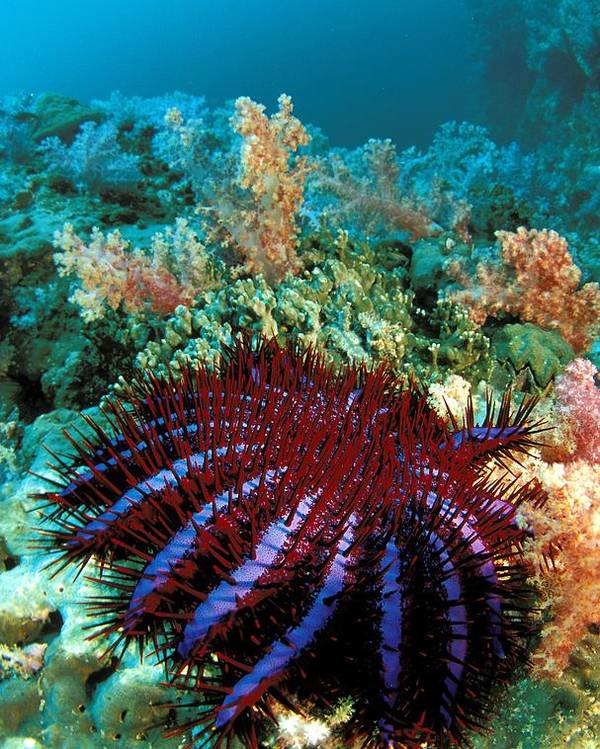 Acanthaster Poster featuring the photograph Thailand, Marine Life by Dave Fleetham - Printscapes