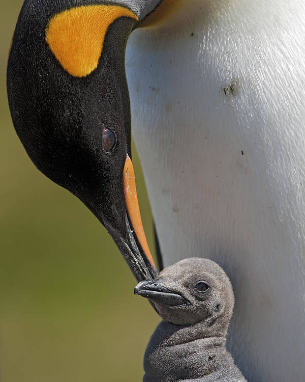 Mp Poster featuring the photograph King Penguin Aptenodytes Patagonicus by Ingo Arndt