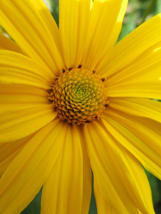 Flowers Poster featuring the photograph Coneflower by Michele Caporaso