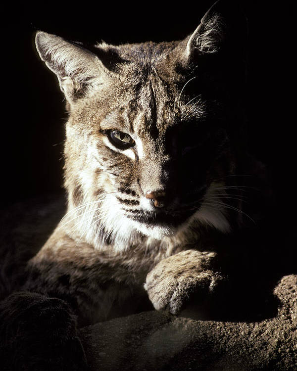 Bobcat Poster featuring the photograph A Bobcat Sitting In A Ray Of Sun by Jason Edwards