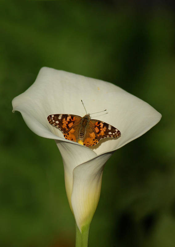 Butterfly Poster featuring the photograph A Butterfly Lands Upon A Lily II by Susan Heller